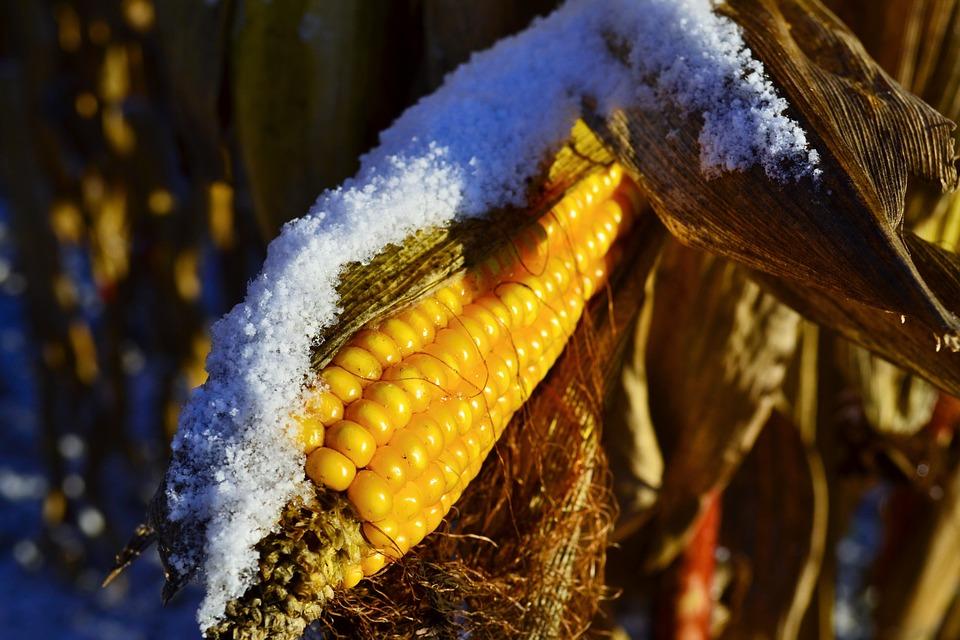 Spring Corn Snow